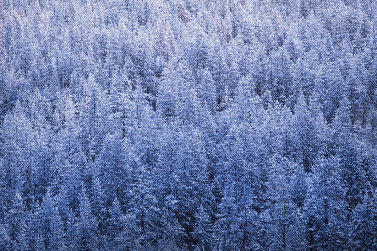 Winter trees in Yosemite National Park.