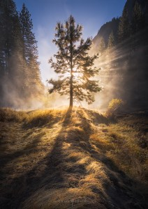 Yosemite Misty Foggy Tree Sunrise
